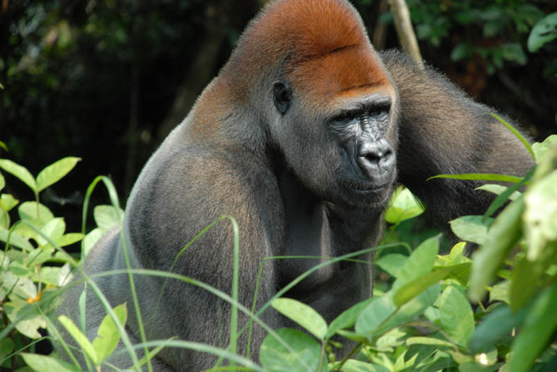 Gorilla by PIERRE FIDENCI